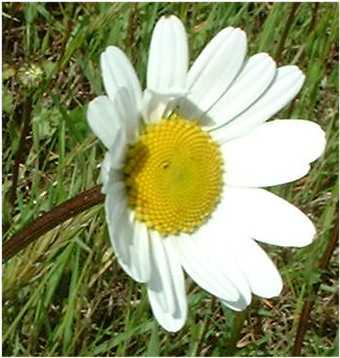 Fleurs Blanches De Grande Taille A Nombreux Petales Chrysanthemum