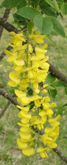 grandes fleurs jaunes irr guli res lonicera periclymenum sarothamnus scoparius ulex. Black Bedroom Furniture Sets. Home Design Ideas