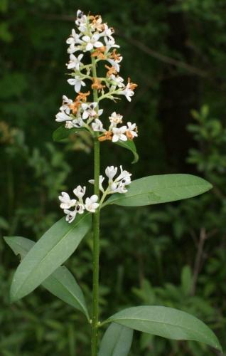 Petites fleurs blanches 4 ptales erophila verna - Arbuste a petites fleurs blanches ...