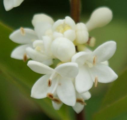Petites Fleurs Blanches A 4 Petales Erophila Verna Lobularia