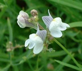 Petites fleurs bleues de forme irr guli re polygala vulgaris et serpyllifolia vicia - Polygala myrtifolia feuilles jaunes ...