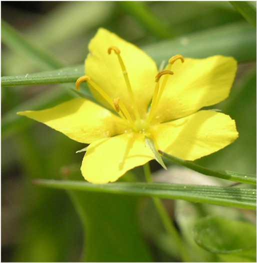 Fleurs jaunes 5 ptales lysimachia nemorum et nummularia for Plante 5 feuilles