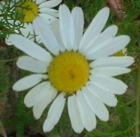 Fleurs Blanches De Taille Moyenne A Nombreux Petales Bellis