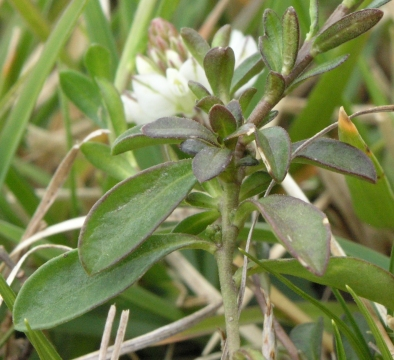 Petites fleurs blanches irregulieres trifolium subterraneum pinguicula lusitanica polygala - Polygala myrtifolia feuilles jaunes ...