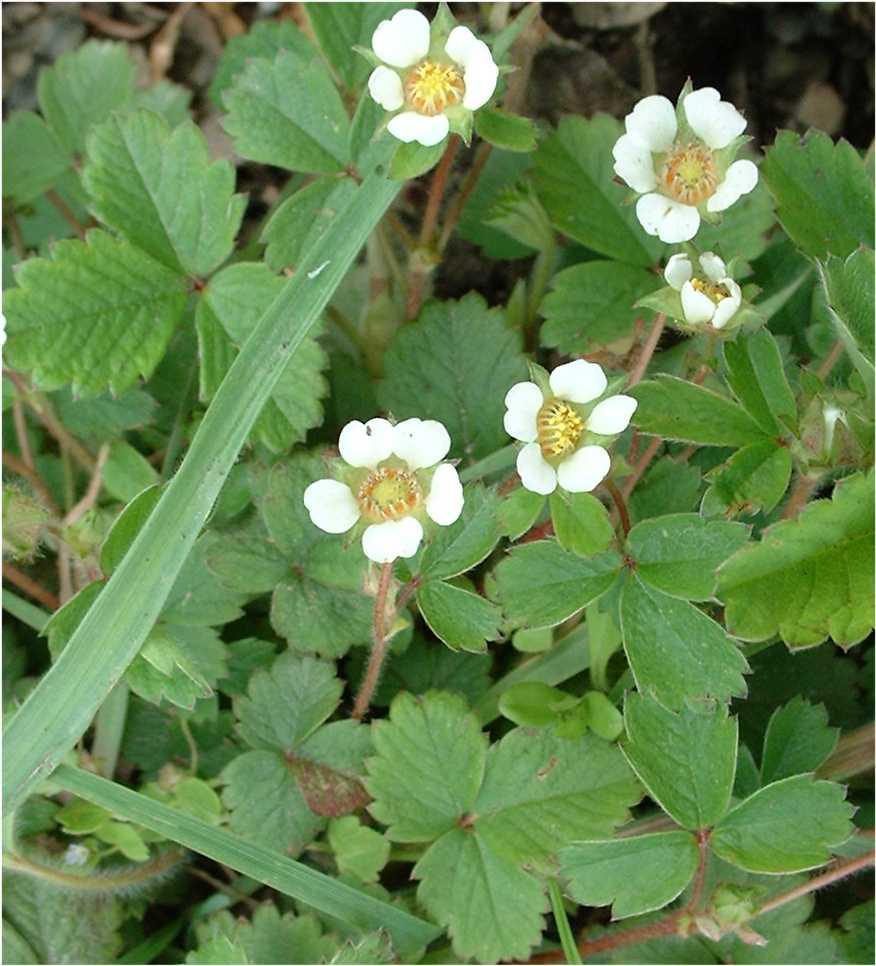Fleurs blanches de taille moyenne 5 ptales - Taille des lauriers fleurs ...