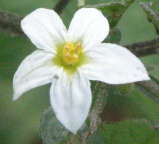 Petites Fleurs Blanches A 5 Petales Samolus Valerandi Moehringia