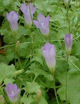 fleurs bleues en forme de coupe wahlenbergia hederacea. Black Bedroom Furniture Sets. Home Design Ideas