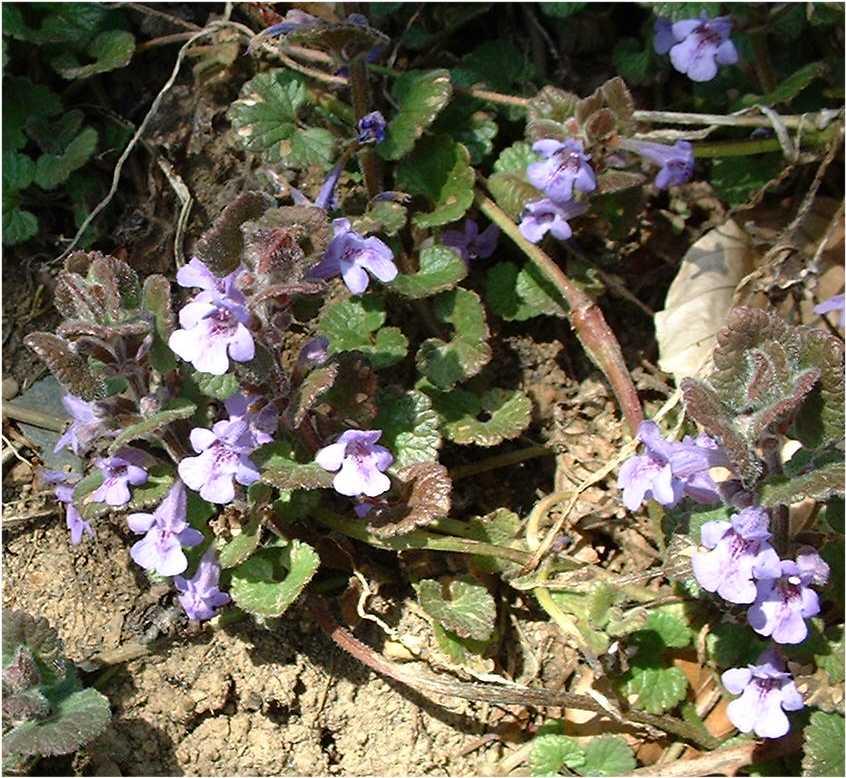 Fleurs Violettes Irregulieres Epipactis Atrorubens Vicia Villosa