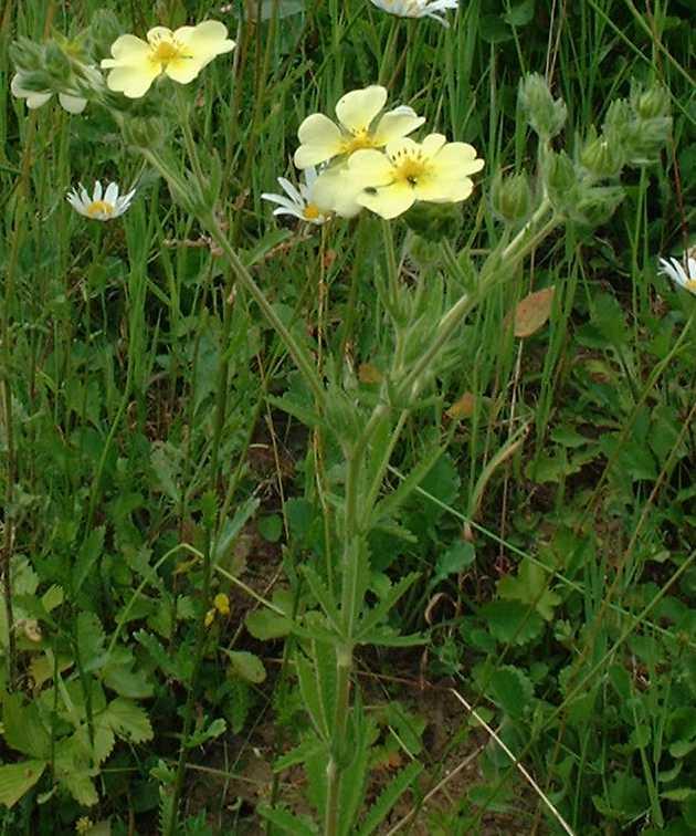 grandes fleurs jaunes 5 p tales caltha palustris potentilla recta primula vulgaris. Black Bedroom Furniture Sets. Home Design Ideas